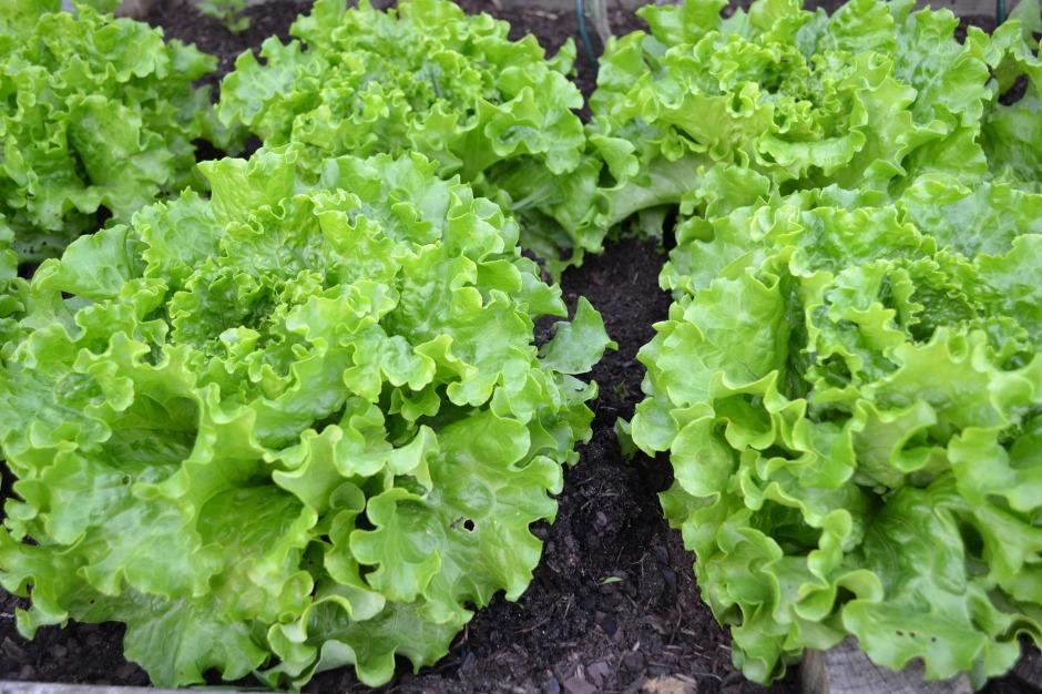 green-salad-1533956_1920